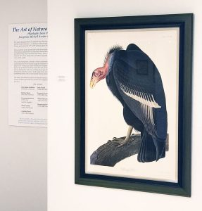 John James Audubon in Prescott Arizona: Vulture